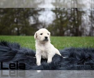 Goldendoodle Puppy for Sale in COLONIAL HEIGHTS, Tennessee USA