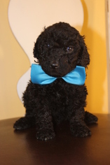 Poodle (Standard) Puppy For Sale in CORBIN, KY