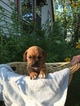 Puggle Puppy For Sale in KENNEBUNK, ME, USA