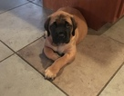 Mastiff Puppy For Sale in CHADDS FORD, PA, USA