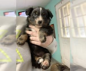 Australian Shepherd Puppy For Sale in CAMAS, WA, USA