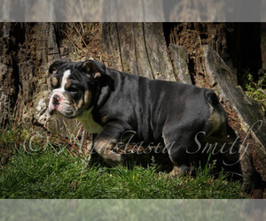 English Bulldog Puppy for Sale in CARY, North Carolina USA