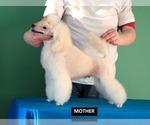Small #5 Poodle (Miniature)