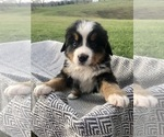 Puppy 3 Bernese Mountain Dog