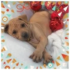Thai Ridgeback Puppy for sale in PASADENA, CA, USA