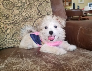 View Ad Morkie Puppy For Sale Near California Los Angeles Usa