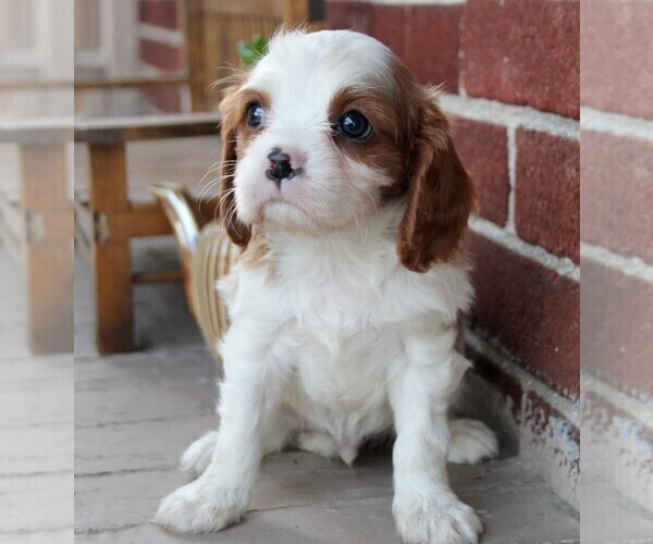 Medium Photo #4 Cavalier King Charles Spaniel Puppy For Sale in LANCASTER, PA, USA