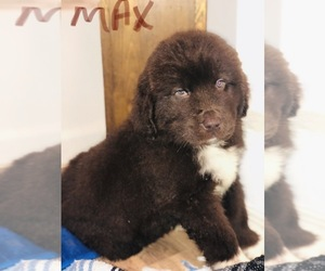 Newfoundland Puppy for sale in GREENFIELD, OH, USA