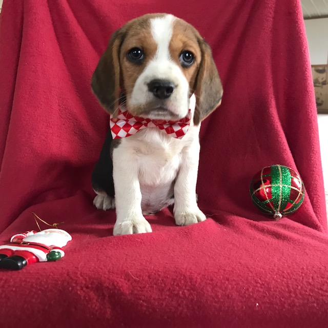 View Ad: Beagle Puppy for Sale near In Portugal