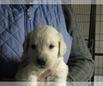 Puppy 3 Golden Retriever