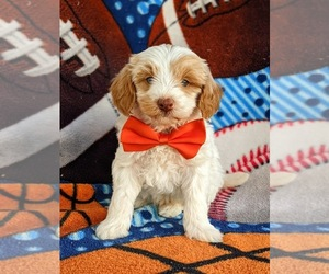 Goldendoodle Puppy for sale in KIRKWOOD, PA, USA