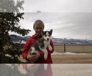 Siberian Husky Puppy for Sale in WESTCLIFFE, Colorado USA