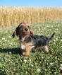 Yo-Chon Puppy For Sale in ARTHUR, IL, USA