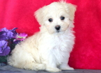 Maltese Puppy For Sale in MOUNT JOY, PA, USA