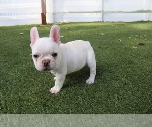 French Bulldog Puppy for Sale in CORONA, California USA
