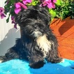 Shorkie Tzu Puppy For Sale in GAP, PA, USA