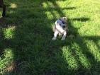 Boston Terrier Puppy For Sale in HOUSTON, TX