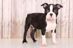 Boston Terrier Puppy For Sale in MOUNT VERNON, Ohio,