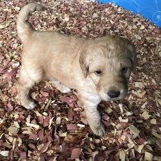 Labradoodle Puppy For Sale in PRINCETON, NC, USA