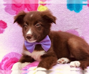 Border Collie Puppy for Sale in CLAY, Pennsylvania USA