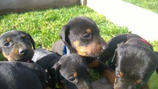 Doberman Pinscher Puppy For Sale in PASCO, WA