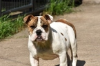 Puppy 0 Bulldog