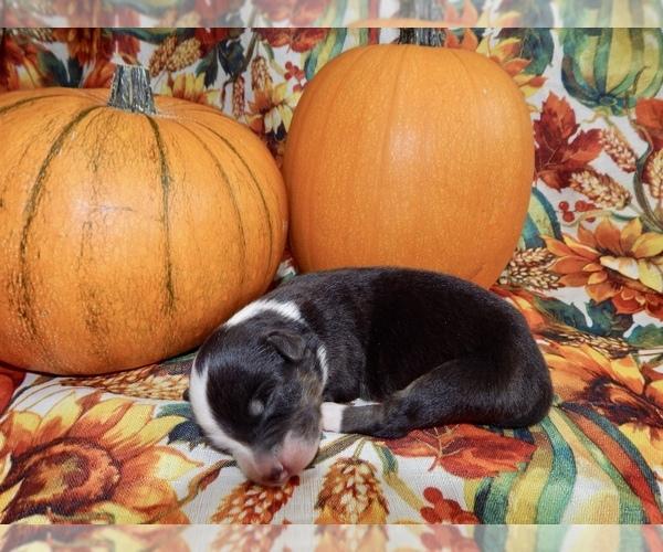 Medium Photo #3 Australian Shepherd Puppy For Sale in CANTON, OH, USA