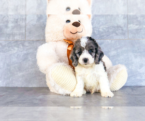 Cock-A-Poo Dog for Adoption in CLEVELAND, North Carolina USA