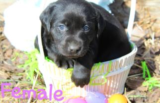 Labrador Retriever Puppy for sale in UNIONVILLE, MO, USA