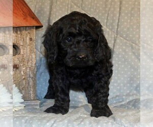 Cock-A-Poo-Poodle (Miniature) Mix Puppy for sale in PARADISE, PA, USA