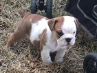 Bulldog Puppy For Sale in WALLER, Texas,