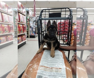 German Shepherd Dog Puppy for sale in BLAND, MO, USA