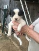 ABCA Border Collie pups
