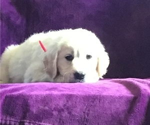 Golden Retriever Puppy for Sale in CENTRAL MANOR, Pennsylvania USA
