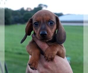 Dachshund Puppy for Sale in ELVERSON, Pennsylvania USA