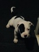 American Pit Bull Terrier Puppy For Sale in BRANDYWINE, Maryland,