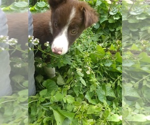 Border Collie Puppy for Sale in DE KALB JCT, New York USA