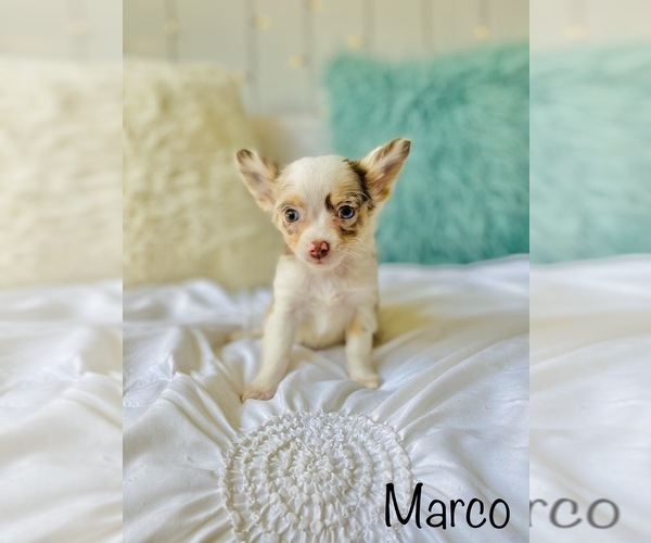 Medium Photo #10 Chihuahua Puppy For Sale in COOKEVILLE, TN, USA