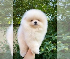 Pomeranian Puppy for sale in Saint Petersburg, St.-Petersburg, Russia