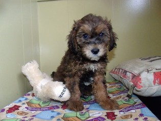 ShihPoo Puppy for sale in PATERSON, NJ, USA