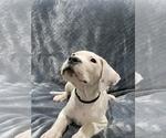 Small #24 Dogo Argentino