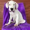 Dogo Argentino Puppy For Sale in EPHRATA, PA, USA