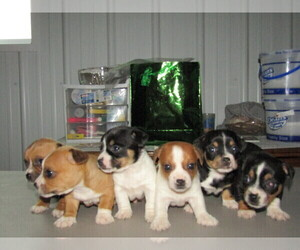 Taco Terrier Puppy for sale in KALAMAZOO, MI, USA