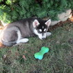 Siberian Husky Puppy For Sale in NEW HAVEN, Indiana,