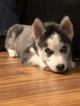 Small #10 Siberian Husky