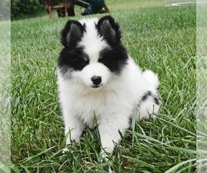 Pomsky Puppy for sale in KANSAS CITY, MO, USA