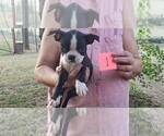 Small #6 Boston Terrier