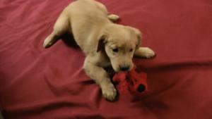 Golden Retriever Puppy For Sale in AVA, MO