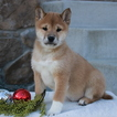 Shiba Inu Puppy For Sale in GAP, PA,