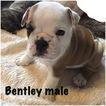 Bulldog Puppy For Sale in EDMOND, OK, USA